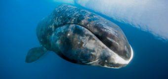 Чудесная Арктика: Всемирный день защиты морских млекопитающих