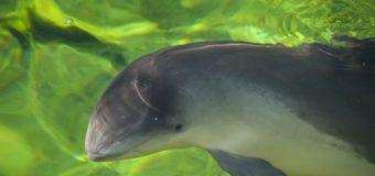 Черноморский дельфин — морская свинья (азовка)