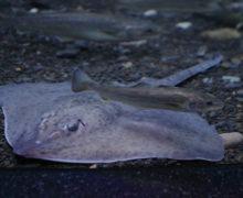 Невозмутимый приморец: в экспозициях океанариума поселился скат Берга