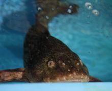 Липарис-гигант поселился в Приморском океанариуме