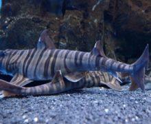 Древняя акула снова удивляет