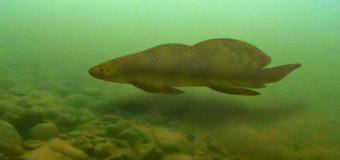 Найдена высокоширотная девонская двоякодышащая рыба, возрастом 400 миллионов лет