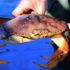 Рост кислотности Мирового океана провоцирует разрушение панцирей крабов