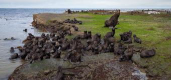 Тюлени острова Беринга