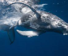 Киты не вымрут: рецензия на книгу о жизни и смерти подводных гигантов