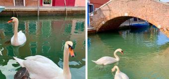 В каналах Венеции появились дельфины и лебеди