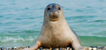 Плотоядную косатку и каспийского тюленя внесут в Красную книгу РФ