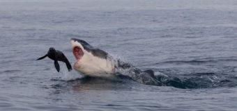 Фото дня: акула охотится на морского котика