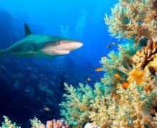 Что спасет коралловые рифы и рифовых акул