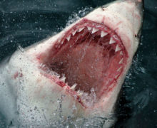 Британский фотограф организовал фотосессию с большой белой акулой