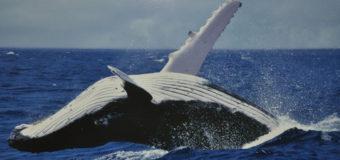 Двух китов-полосатиков заметили у берегов Франции (видео)