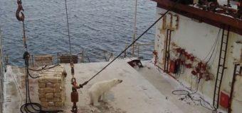У Шпицбергена белый медведь забрался на мурманское судно