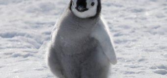 Один за всех и все за одного: видео о героизме пингвинов