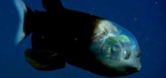 Рыбы-невидимки попались на глаза ученым
