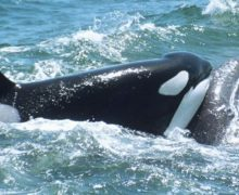 Горбачи спасают молодого серого кита от косаток (видео)