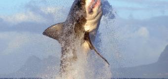 Рукотворное шестое массовое вымирание акул