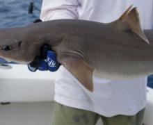 Есть ли акулы в Азовском море?