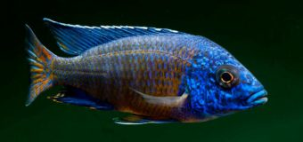 Аулонокар — рыбка с потомством во рту