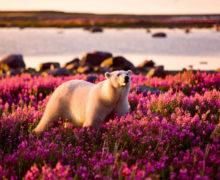 Арктика: пропадает ягель, появляются дождевые черви