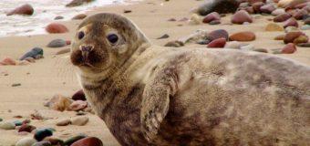 Трех тюленей отпустили в Балтийское море из Центра спасения