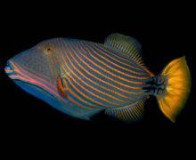 Спинорог — хрюкающая рыба с зубами в два ряда