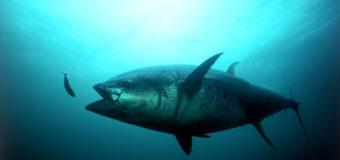 2 мая — Всемирный день тунца