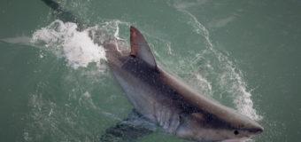 Настоящая скорость белой акулы!