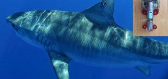 Тигровые акулы — мобильные океанографы в исследованиях учёных