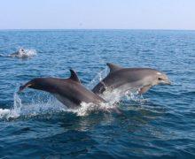 Крымские экологи зафиксировали рекордное число выбросов дельфинов