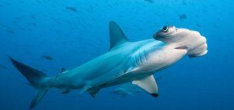 Зачем молотоголовые акулы плавают на боку? (видео)