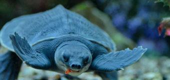 Черепаха Самарского океанариума передает привет