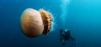 Ученые не могут исследовать яд гигантской медузы