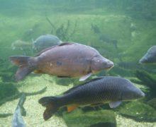 Ставрополье освоило разведение ценных пород рыб