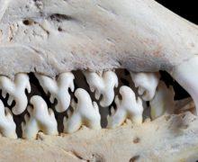 Фото дня: тюлень-крабоед, который не ест крабов
