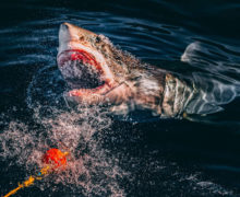 Фото дня: большая белая акула