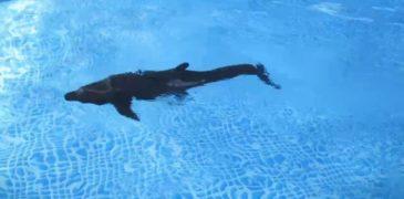 В китайском аквариуме появился гиперреалистичный робот-дельфин