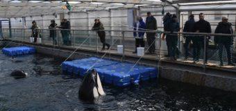 В России отклонили инициативу о запрете отлова китов
