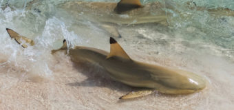 Чернопёрые акулы используют мель для спасения от акул-молотов