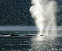 Как киты реагируют на судовой шум