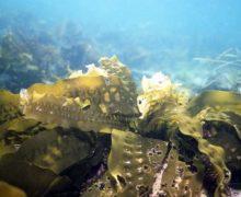 Фастфуд из морской капусты стали выпускать на Сахалине