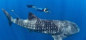 Самая большая загадка океана — почему никто не видел как рождается китовая акула, самая большая рыба планеты?