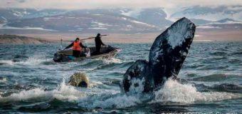 Росприроднадзор выдал Чукотке разрешение на добычу китов
