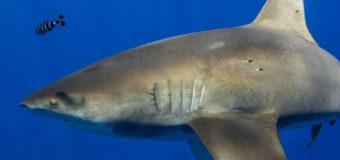 Длиннокрылая акула или гигантский кальмар: кто сильнее