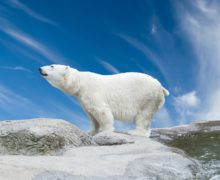 «Хозяин Арктики» зафиксировал места обитания около 40 белых медведей