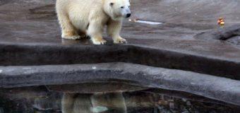 В Московском зоопарке умер один из двух белых медведей