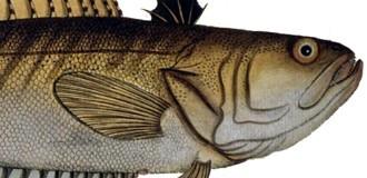 Крымские ядовитые рыбы