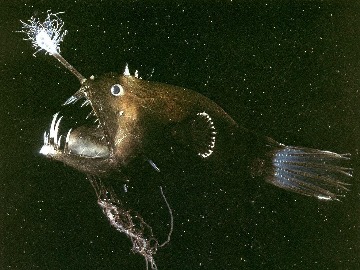 Морской черт или Рыба-удильщик (Lophiiformes)