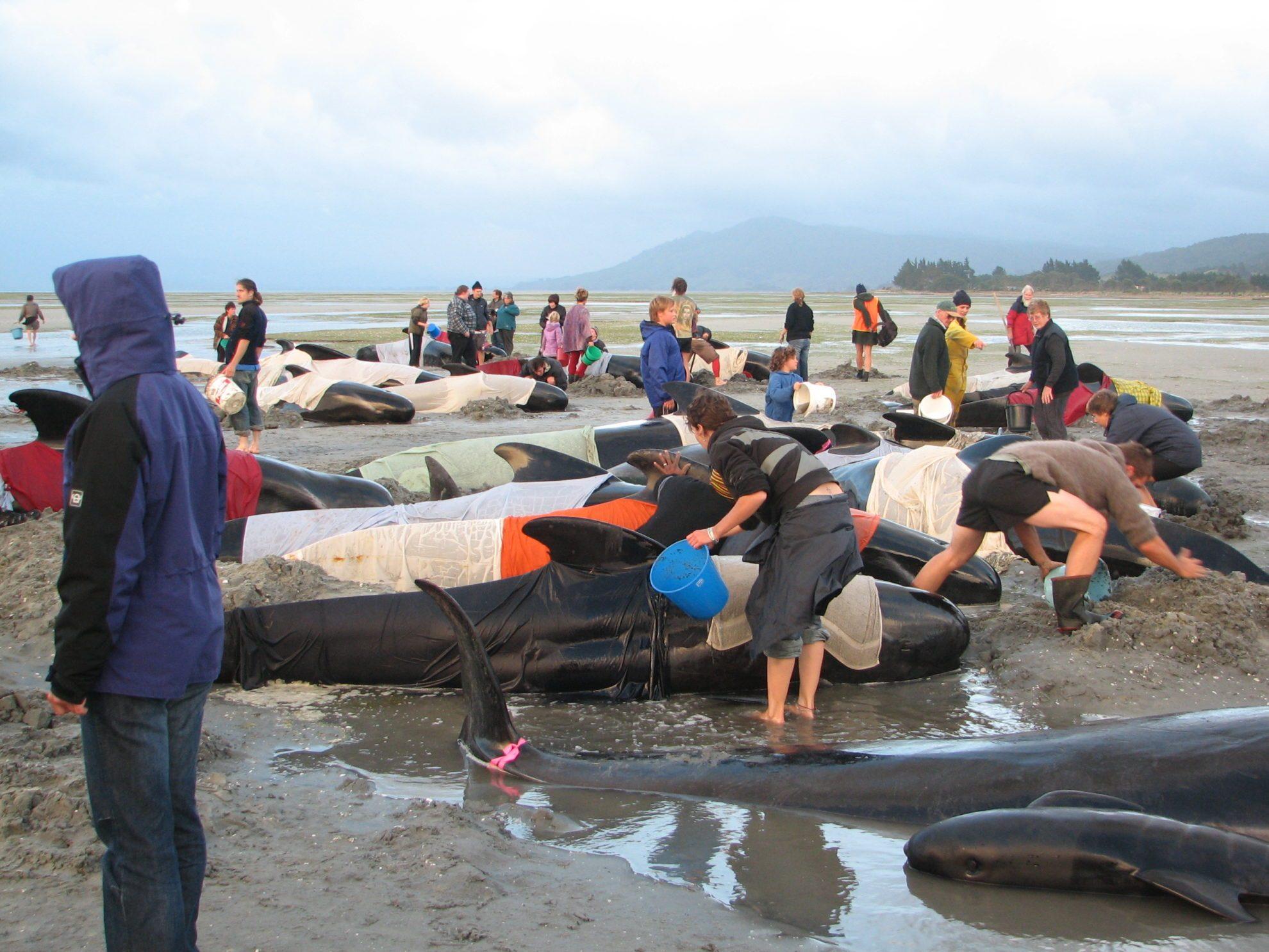 200 дельфинов выбросились на берег Новой Зеландии