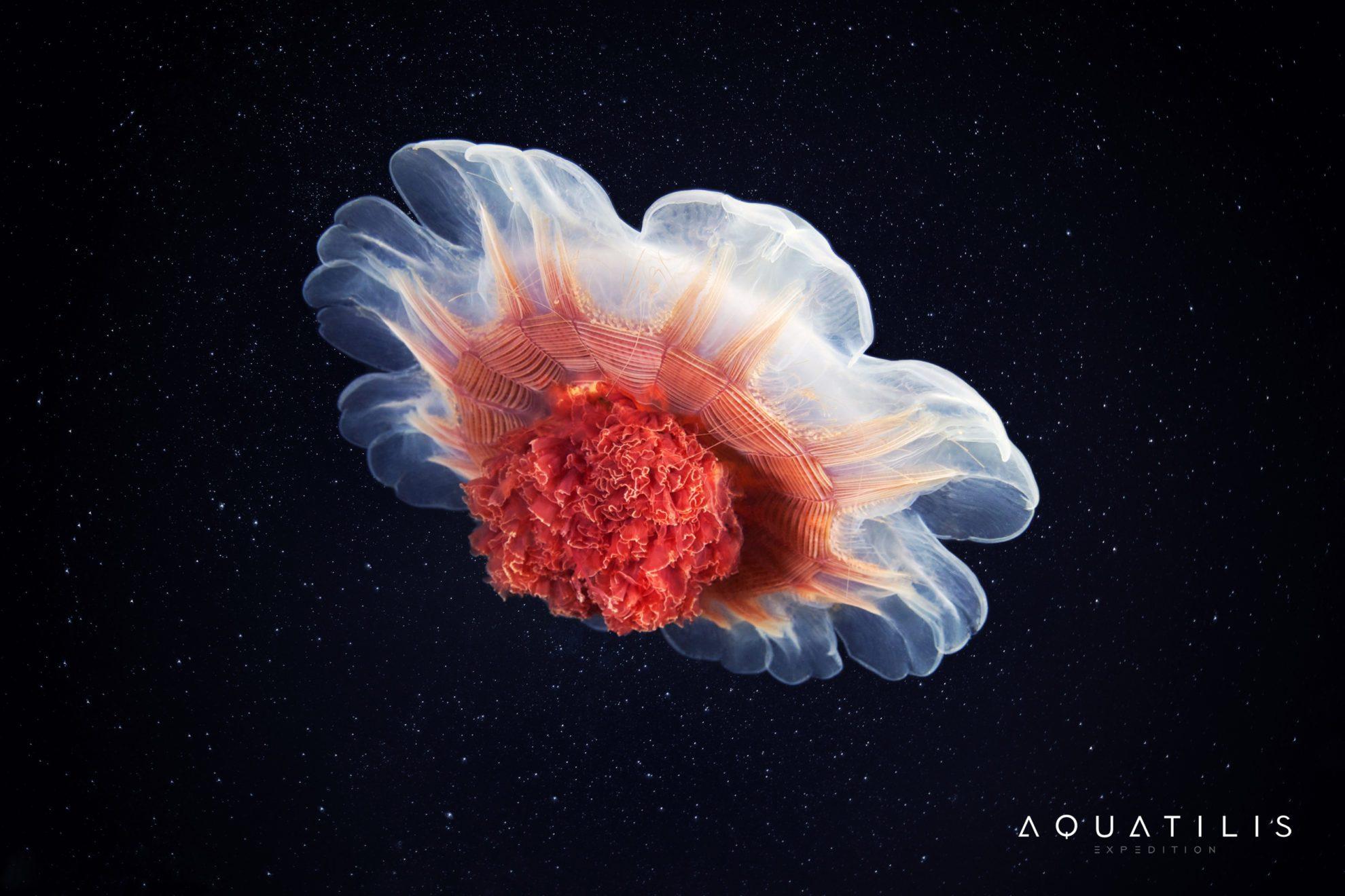медуза Волосистая цианея (Cyanea capillata)
