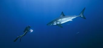 Прогулки с большой белой акулой